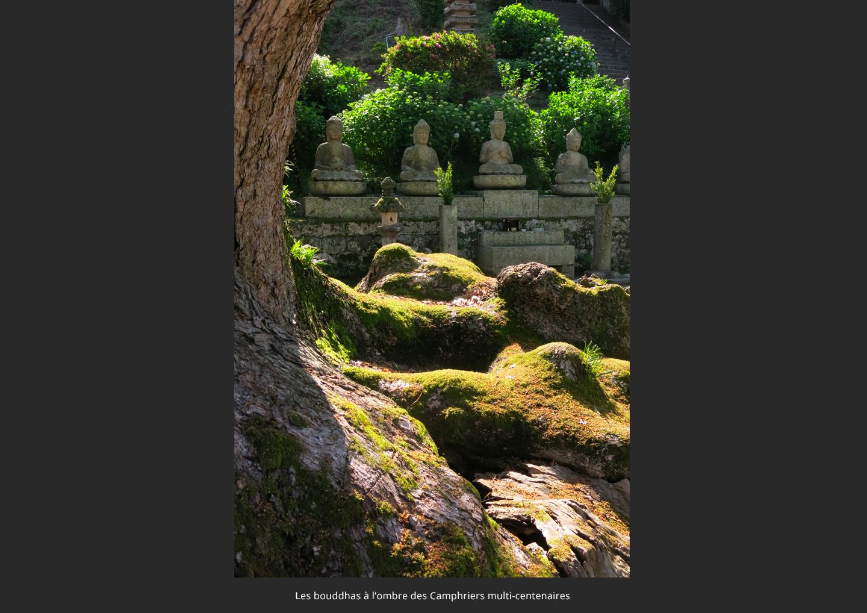 les-bouddha-a-l_ombre-de-camphrier-multi-centenaire